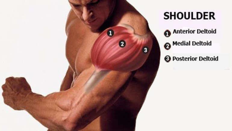 آناتومی عضلات شانه و عضلات سطحی | آسمان فیتنس