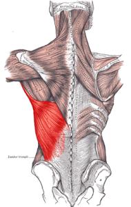 عضله لاتیسموس دورسی