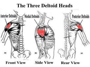 عضلات سرشانه و دلتوئید deltoid heads